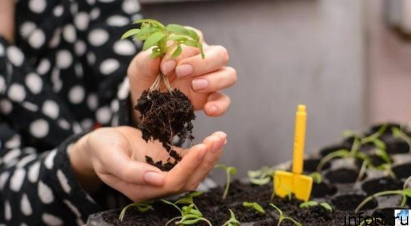Пикировка рассады перцев в марте 2020 года в благоприятные дни поможет получить хороший урожай культуры