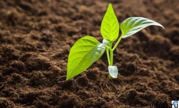 Садить перец на рассаду по лунному календарю нужно в конце февраля 2020 года